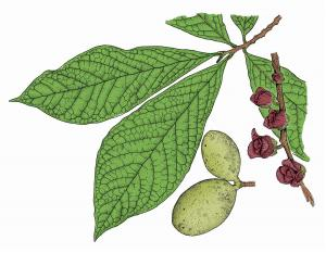 Illustration of pawpaw leaves, flowers, fruits.