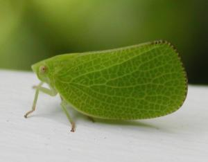 Acanaloniid planthopper, green, viewed from side
