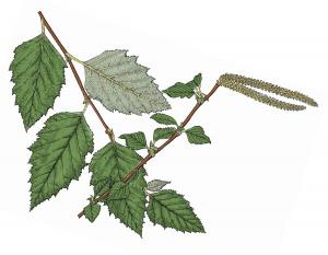 Illustratin of river birch leaves, flowers, fruits.