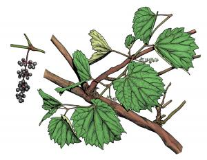 Illustration of sand grape leaves, flowers, fruit