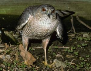 Photo of a sharp-shinned hawk standing on the ground