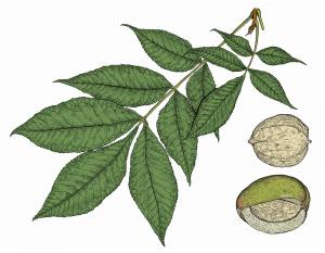 Illustration of shellbark hickory leaf and fruits.