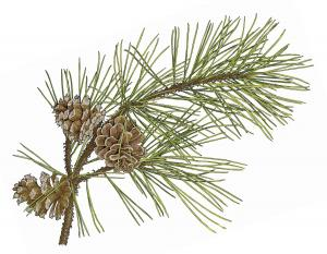 Illustration of shortleaf pine needles, twig, cones.