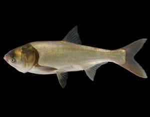 Silver carp side view photo with black background