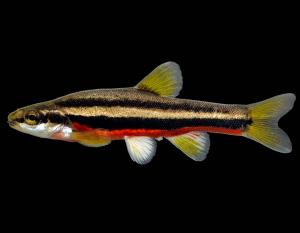 Southern redbelly dace male in spawning colors, side view photo with black background