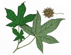 Illustration of sweet gum leaves and fruit