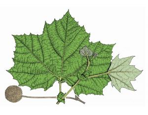 Illustration of sycamore leaves and fruit