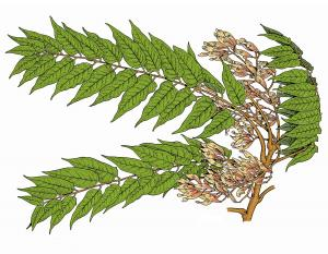 Illustration of tree-of-heaven leaves, flowers, fruit