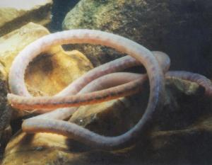 Photo of an aquatic tubificid worm among rocks in an aquarium.