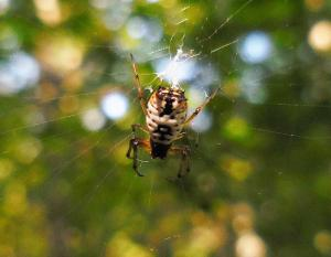 Photo of a white micrathena spider in her web