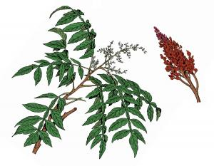Illustration of winged sumac leaves, flowers, fruits.