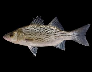 Hybrid striped bass, or wiper, side view photo with black background