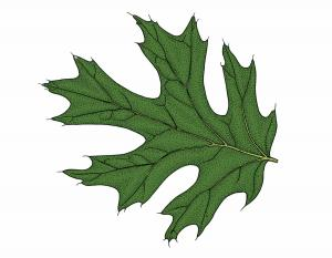 Illustration of black oak leaf.