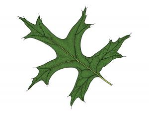 Illustration of pin oak leaf.