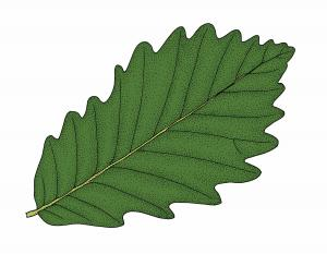 Illustration of swamp chestnut oak leaf.