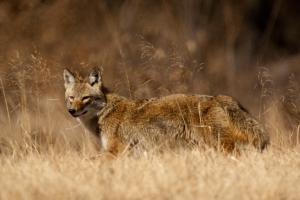 coyote walking through grassland