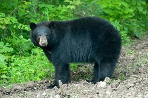 Female American black bear