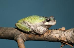 Image of a gray treefrog