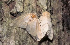 Image of a gypsy moth