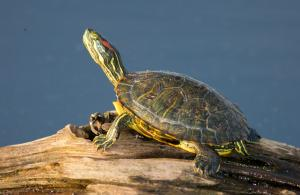 Image of a red-eared slider