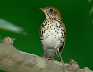 Image of a wood thrush