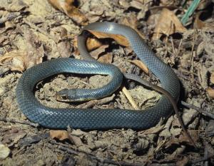 Photo of an eastern yellow-bellied racer.