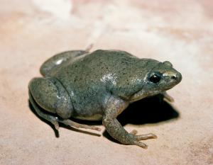 Image of a western narrow-mouthed toad