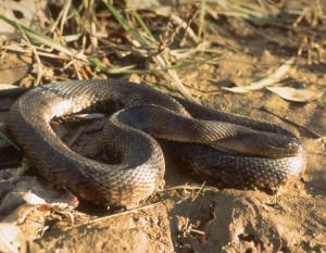 Image of a Mississippi green watersnake