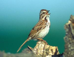 Image of a song sparrow
