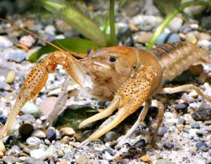 Photo of a White River crawfish.