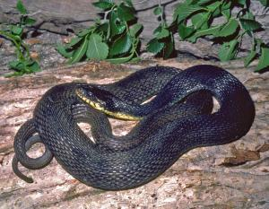 Image of a yellow-bellied watersnake