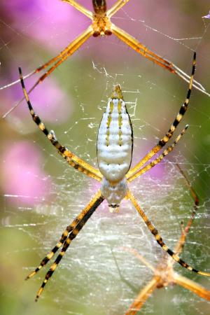 banded or white backed garden spider in web
