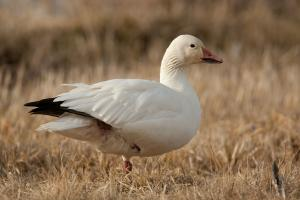 Photo of a snow goose standing in a winter field