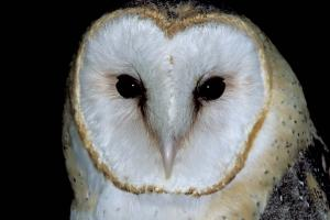 Image of barn owl face.
