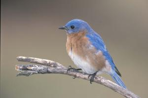 Image of eastern bluebird