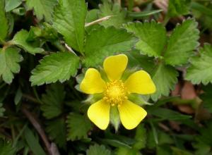 Photo of Indian strawberry plant with flower