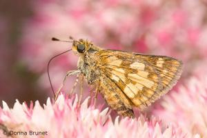 Photo of a Peck's Skipper