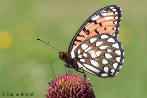 Photo of a regal fritillary, perched on a flower, wings folded