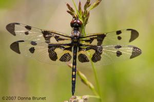 Photo of a male Banded Pennant dragonfly