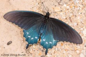 Photo of a Pipevine Swallowtail, Wings Spread