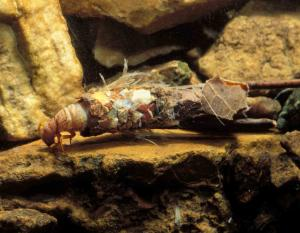 Photo of caddisfly larva with case made of detritus