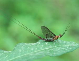 Photo of a mayfly