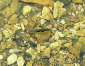 Photo of a single water strider