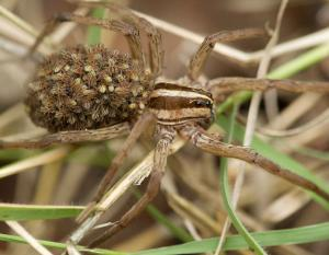 Photo of wolf spider with young