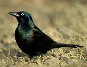 Photograph of a Common Grackle
