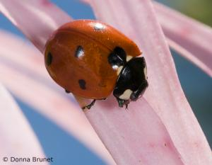 Seven-spotted lady beetle on a flower