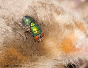 image of greenbottle fly on carcass