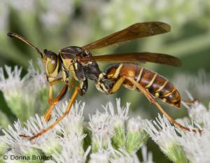 image of Paper Wasp on flowers