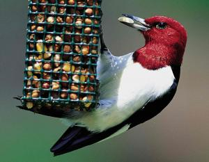 Photograph of a red-headed woodpecker at a bird feeder