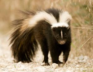Photograph of a striped skunk walking